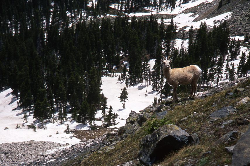 Rocky Mnt. Sheep, Ewe, South Truchas