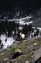 Rocky Mnt. Sheep, Ewe #2, South Truchas