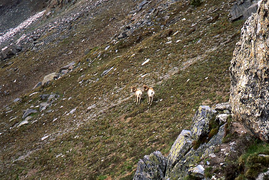 Rocky Mtn. Sheep, Two Rams #2
