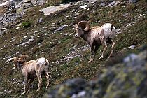 Rocky Mtn. Sheep, Two Rams #1