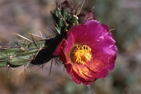 Walking Stick Cholla Blossom with pollen