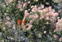 Indian Paintbrush and Apache Plume